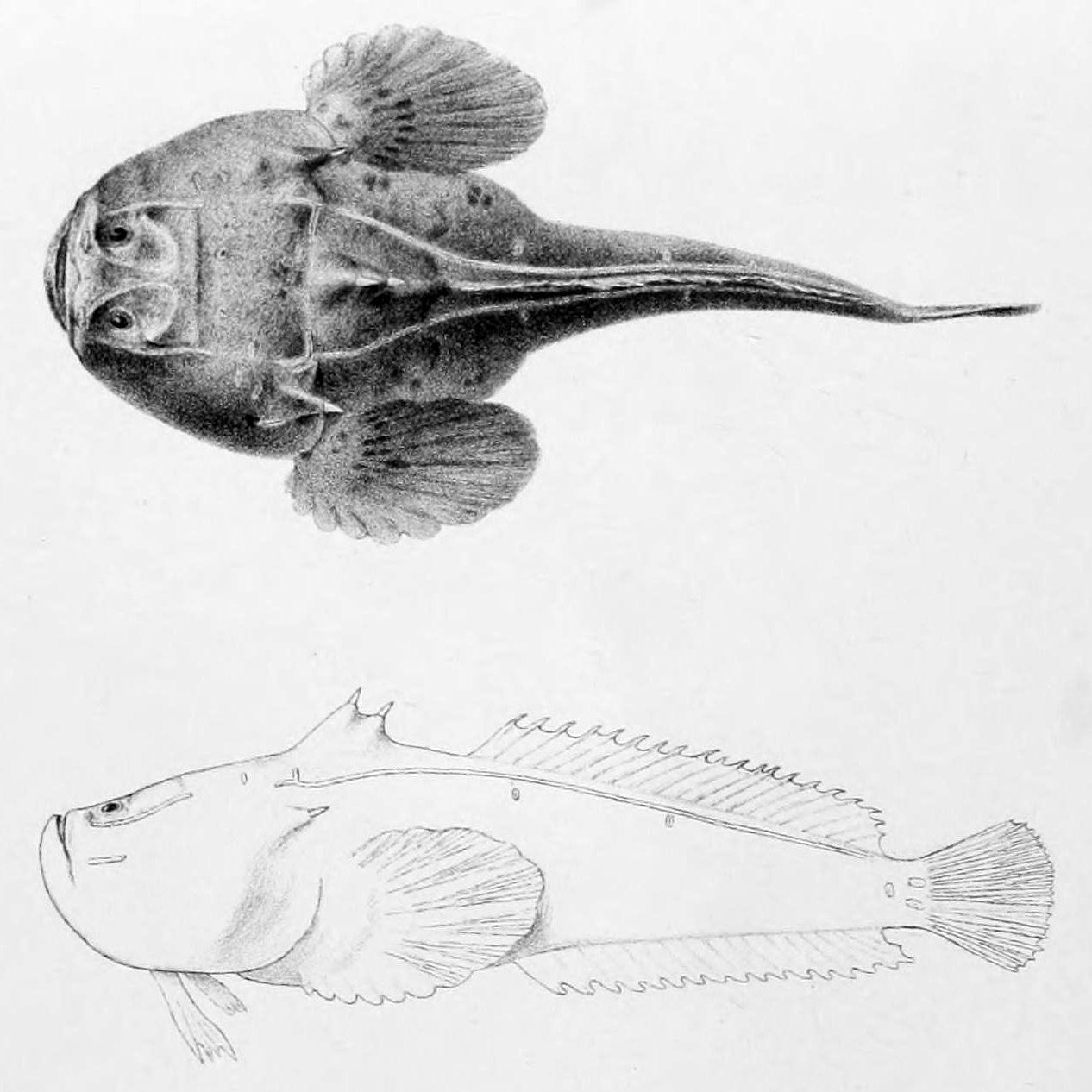 Thalassophryne maculosa Transactions of the Zoological Society of London Pl. 68 7408565536